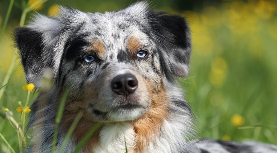 Australian Shepherd Parent Blue Eyes