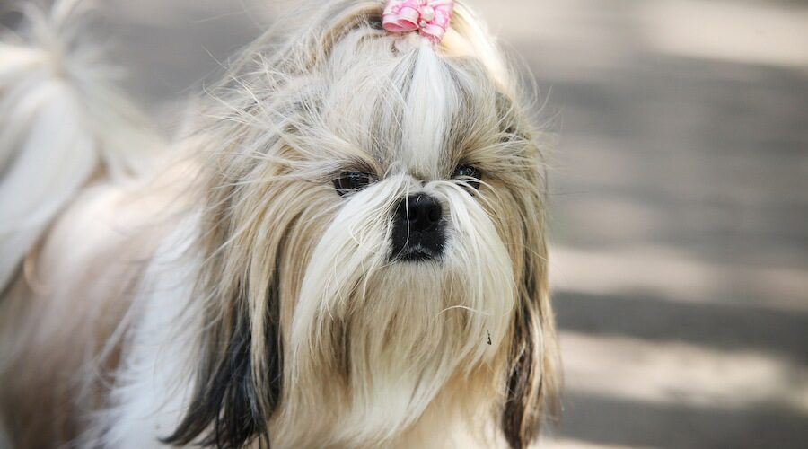 Shih Tzu 101 Breed Information