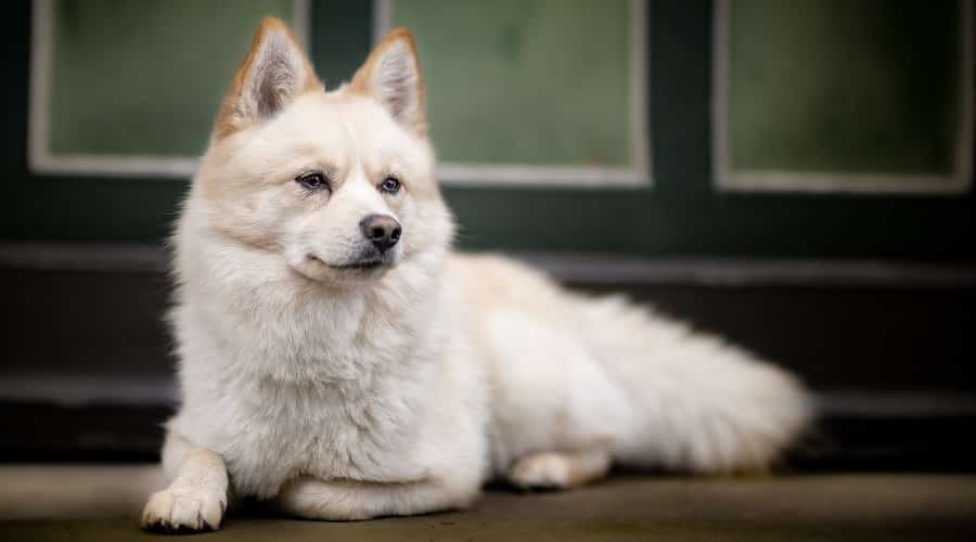 Healthy Pomsky Laying Down
