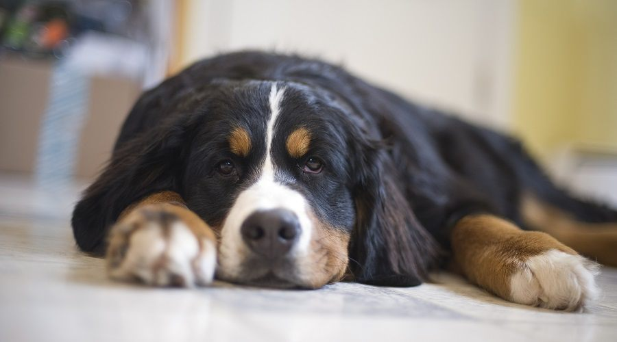 Bernese Mountain Dog Sleeping