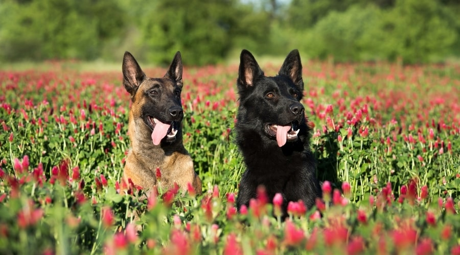 Black and Tan Shepherd Dogs in Field