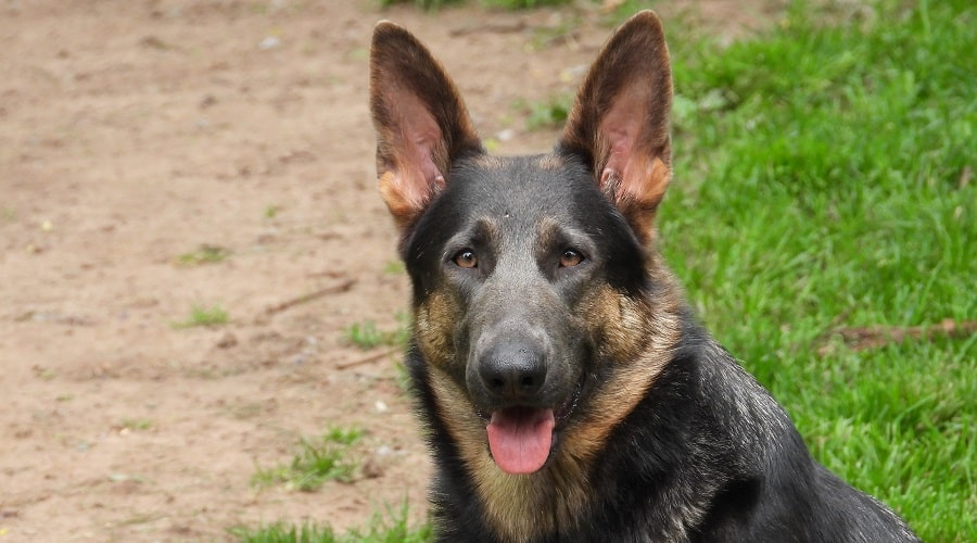 Blue German Shepherd Genetics