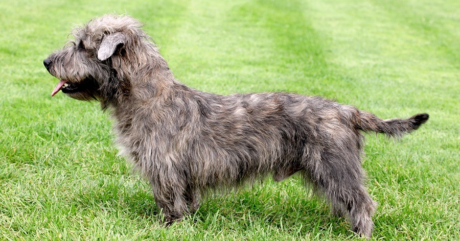 Brindle Imaal Terrier