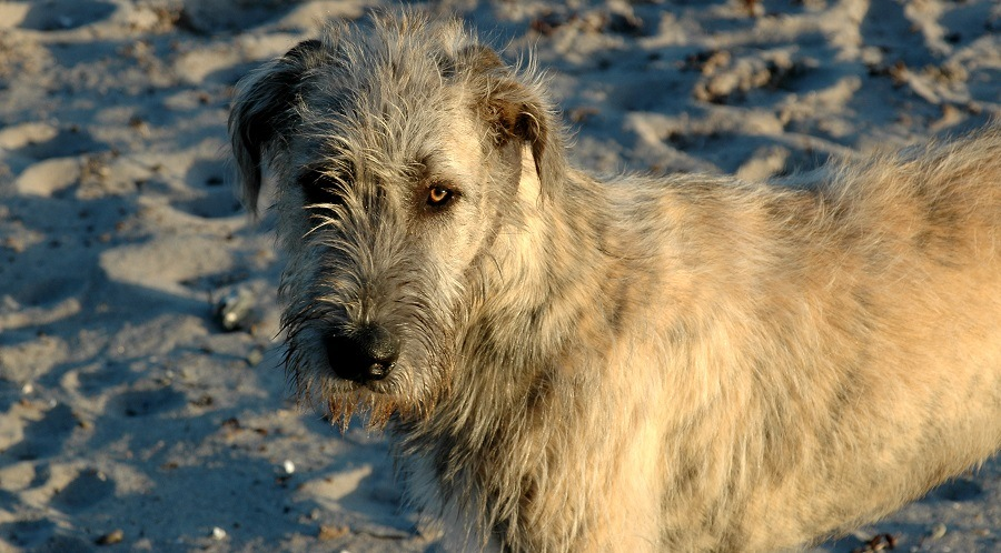 Brindle Irish Wolfhound