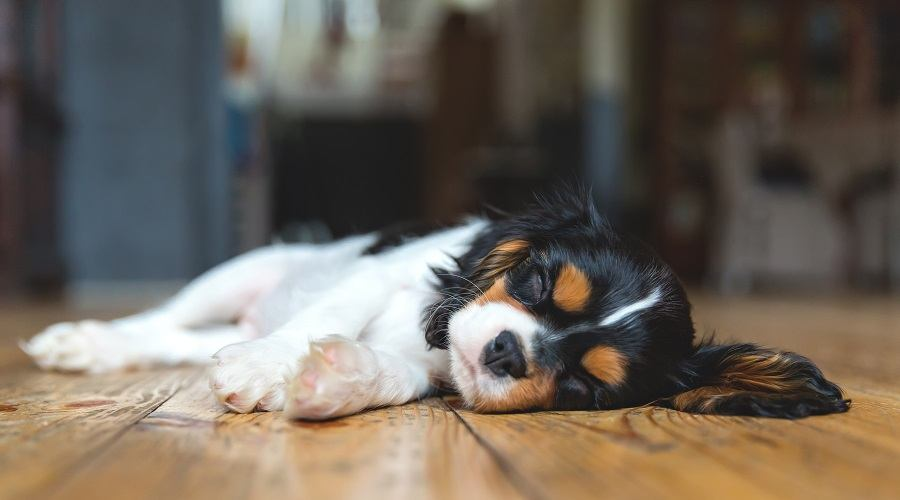 Cavalier King Charles Spaniel Sleeping