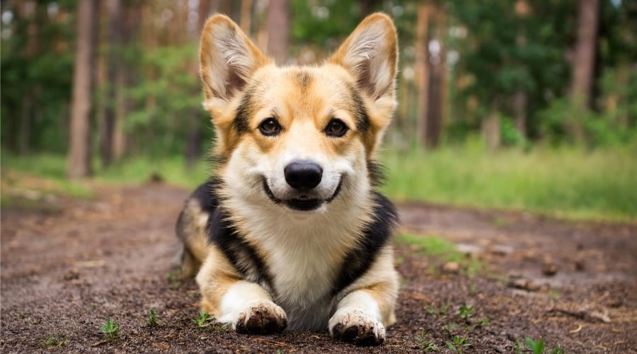 Corgi puppy laying down in dirt