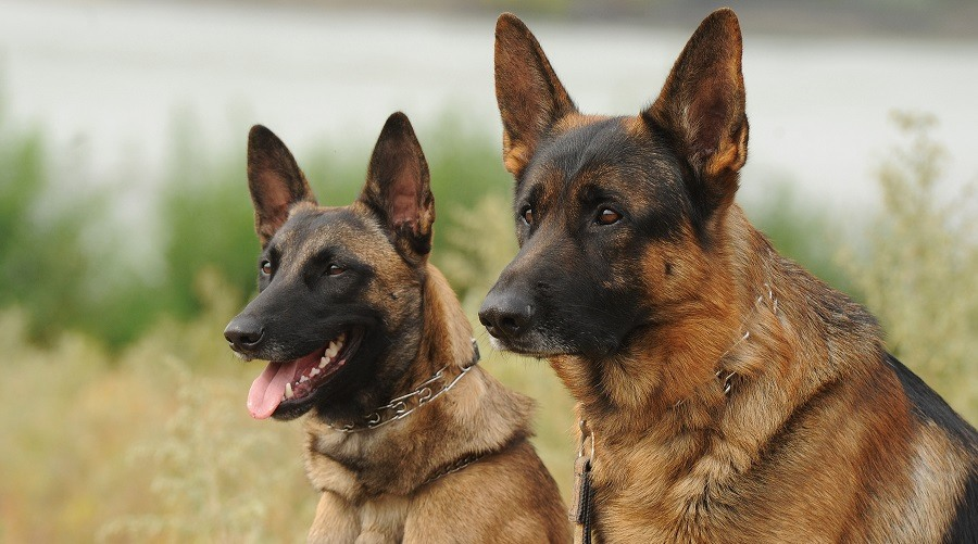 German Shepherd vs Belgian Malinois Comparison