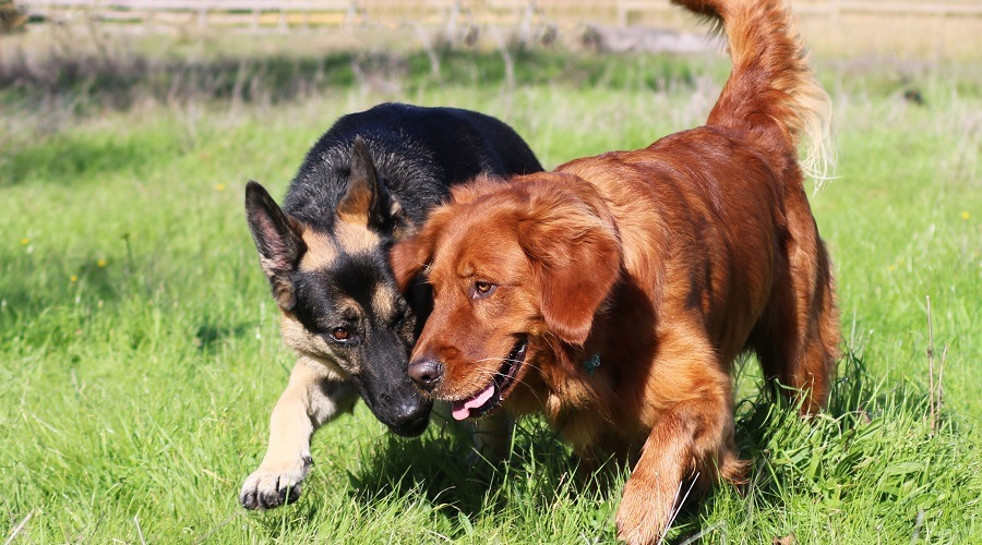 German Shepherd vs Golden Retriever