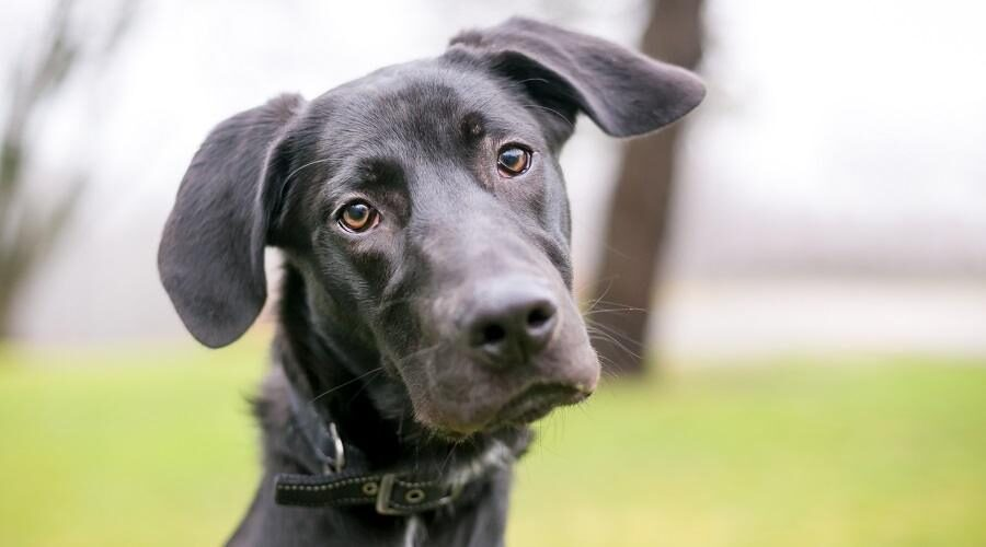 Great Dane Labrador Mix - Labradane