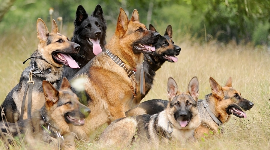 Group of Working Dogs