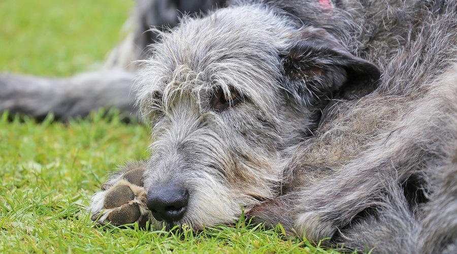 Irish Wolfhound Sleeping