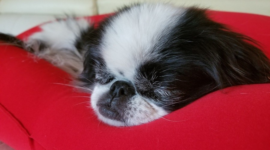 Japanese Chin Sleeping