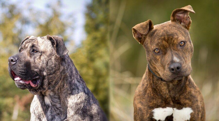 Presa Canario vs American Pitbull Terrier