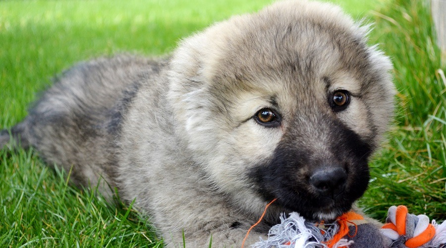 Russian Bear Dog Puppy Costs