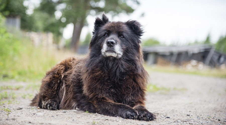 Russian Bear Dog Rescues