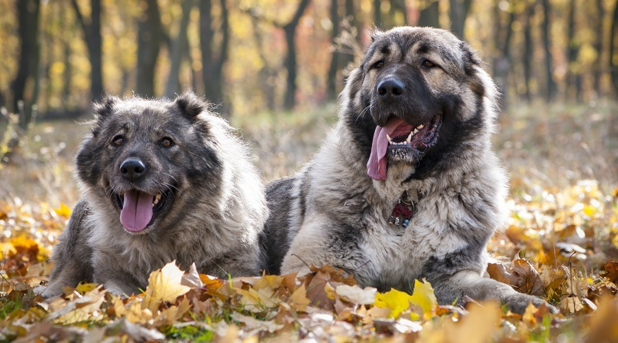 Russian Bear Dog Training Tips