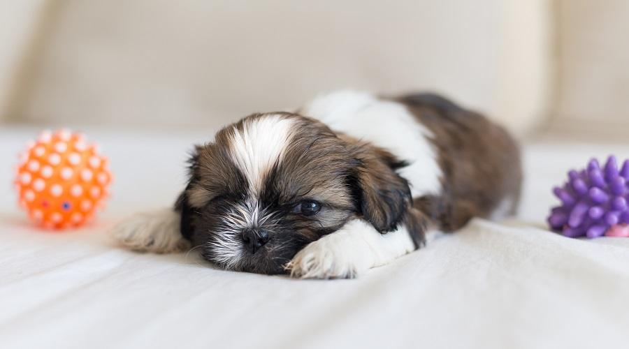 Best Toys For Shih Tzu
