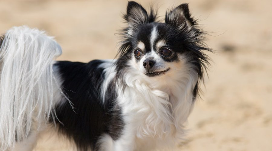 Papillon Dog Mixed Chihuahua