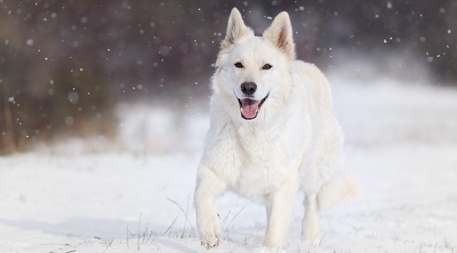 White German Shepherd Dog Breed Info