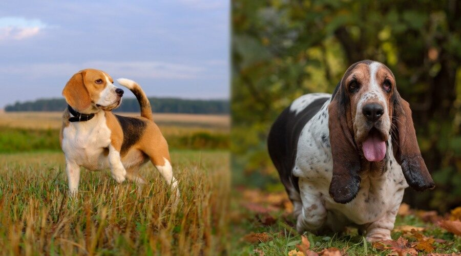 Beagle vs. Basset Hound