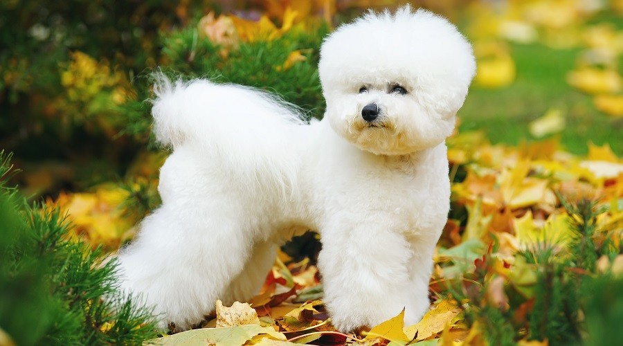Bichon Frise in Autumn Leaves