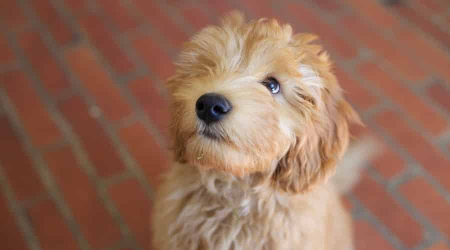 Cute Golden Fluffy Dog Looking Up