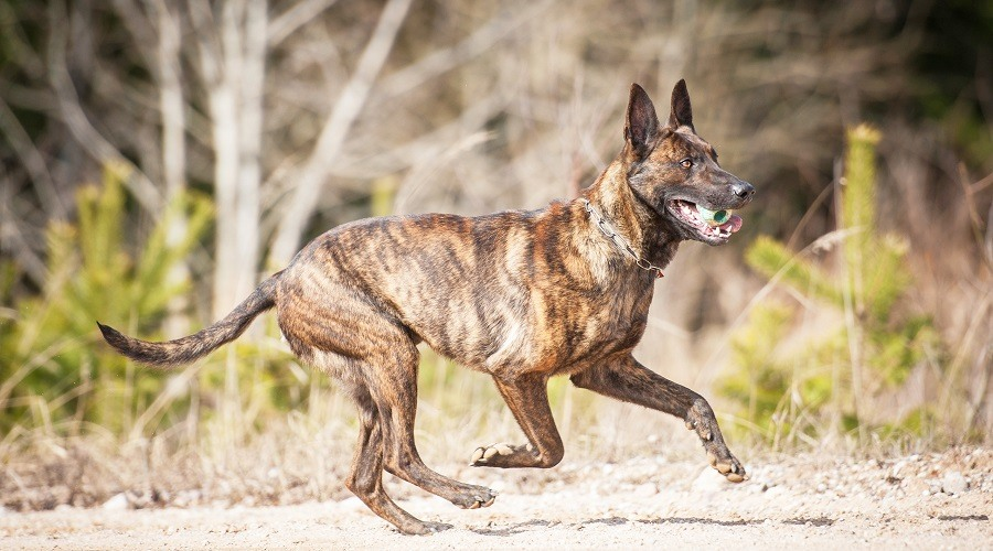 Dutch Shepherd Brindle Coat