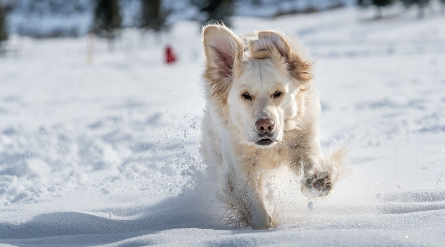 English Cream Retriever in Snow