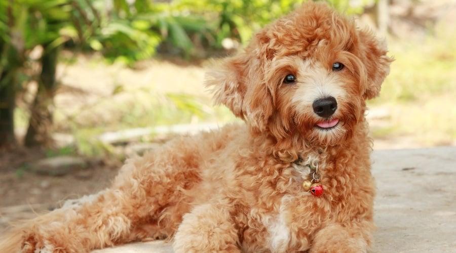 Fluffy Golden Dog