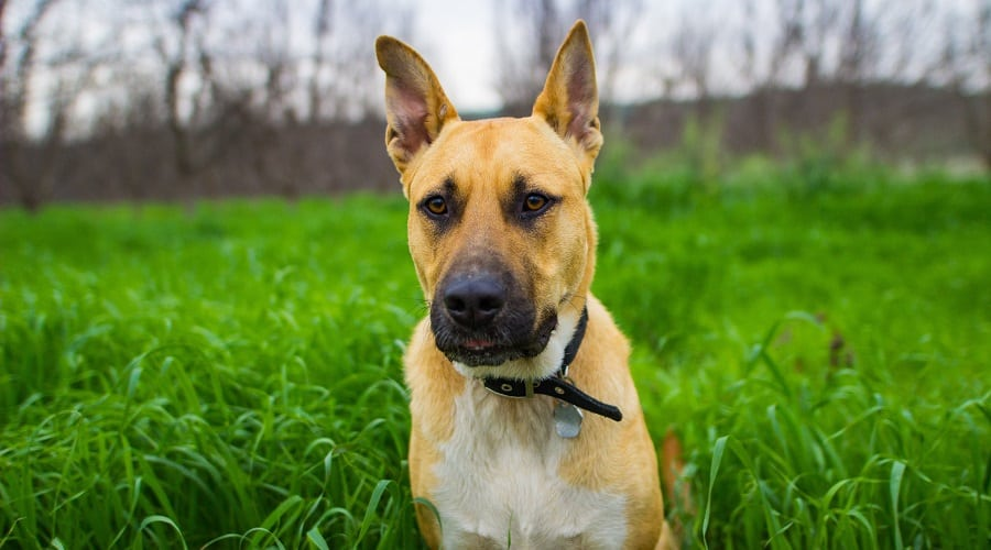 GSD Pitbull Mix with short hair