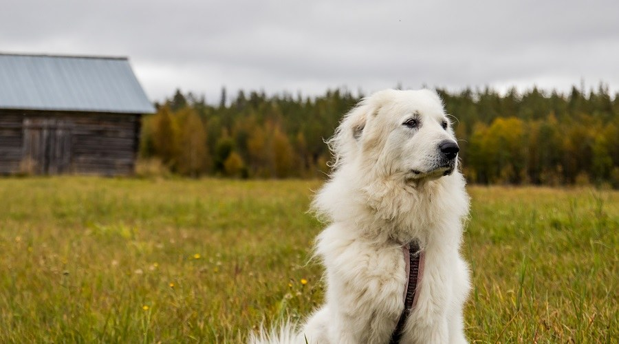Great Pyrenees Dog in Field