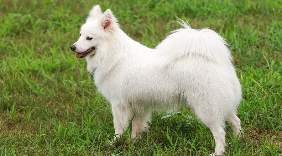 Japanese Spitz in Grass