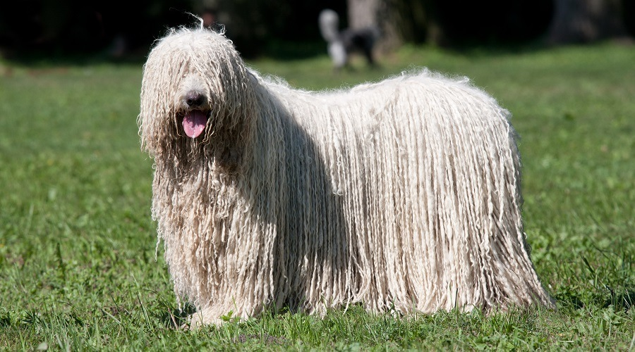 Komondor Long Haired Dog