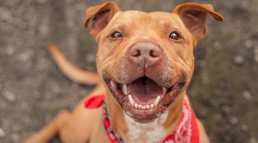 Pitbull Terrier Mixes