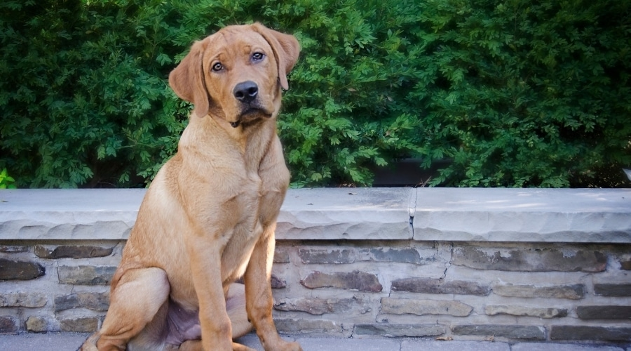 Red Labrador sitting near stone wall