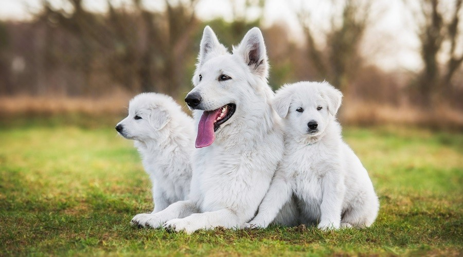 White Dog Breeds With Fluffy Fur
