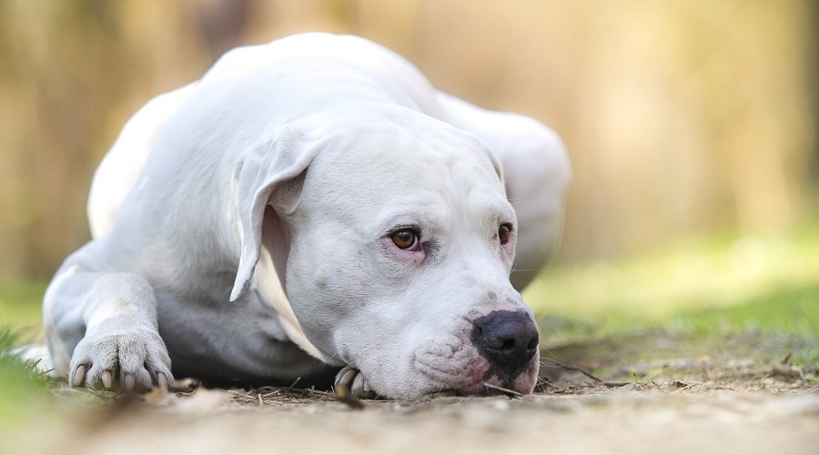 White Dogo Argentino Laying on Ground