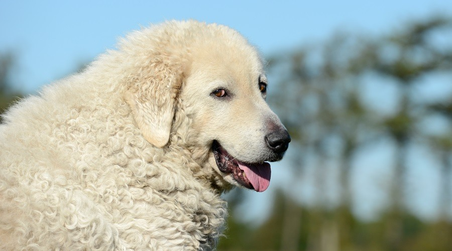 White Kuvasz in Field