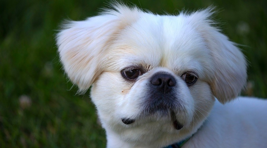 White Pekingnese Dog