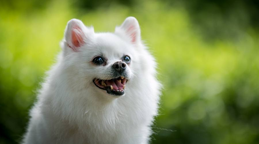 White Pomeranian in Meadow