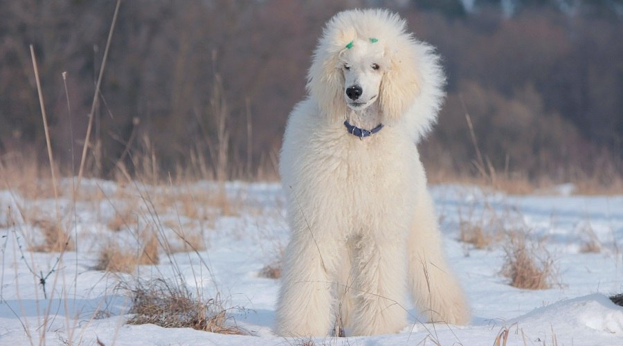 White Standard Poodle in Snow
