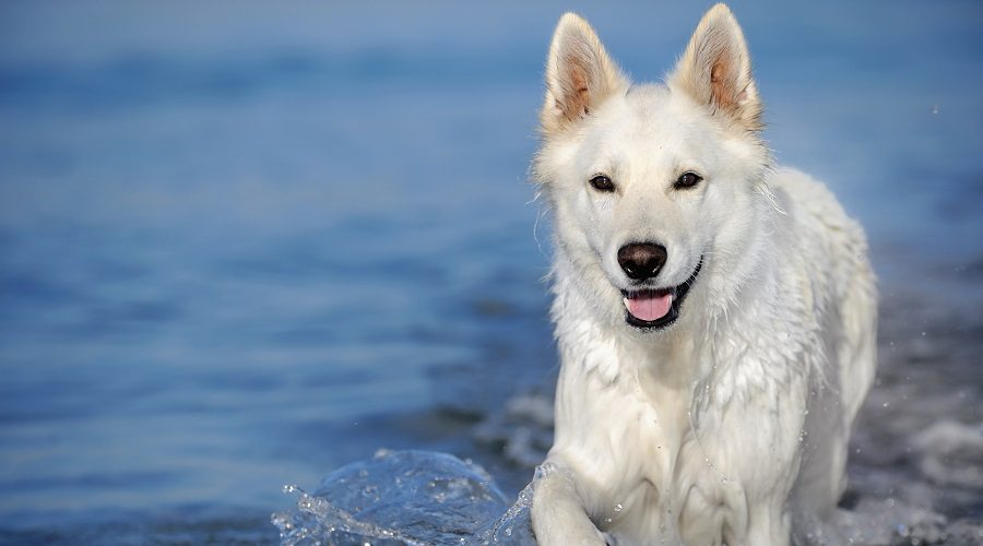 White Swiss Shepherd on Beach