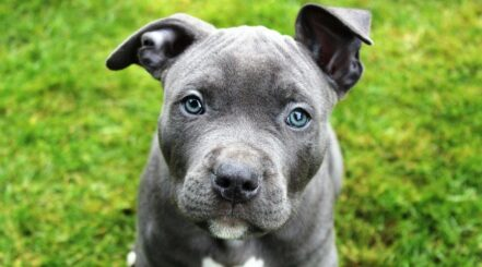 Best Crates For Pitbulls