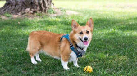 Best Corgi Harness