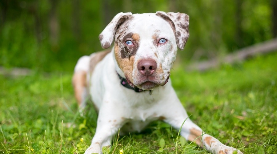 Catahoula Leopard Dog Pitbull Mix Breed Info Puppy Costs More