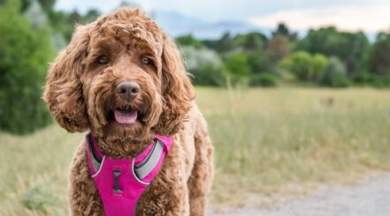 Best Escape Proof Dog Harnesses