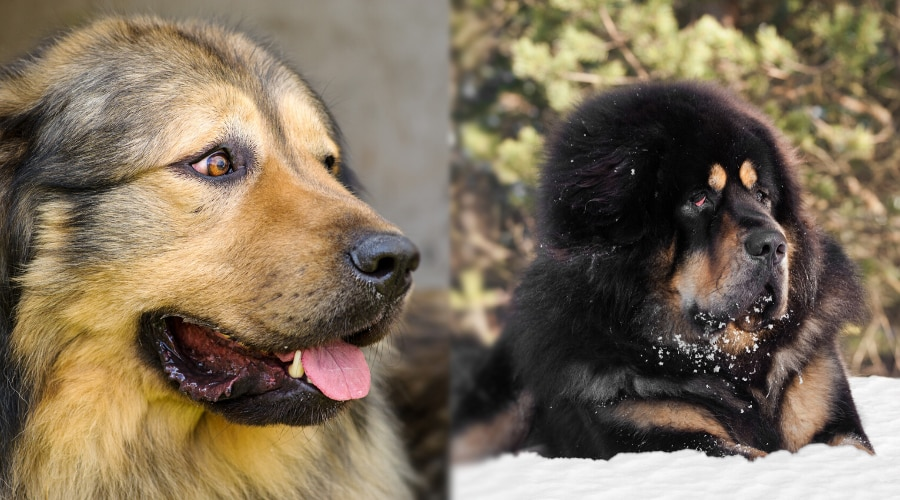 Russian Bear Dog and Tibetan Mastiff Health Needs