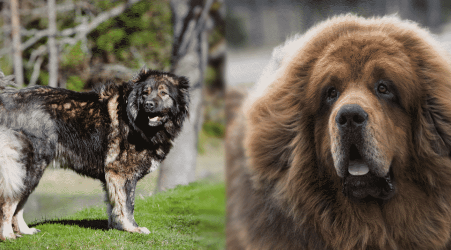 Dietary Requirements for Russian Bear Dog vs. Tibetan Mastiff