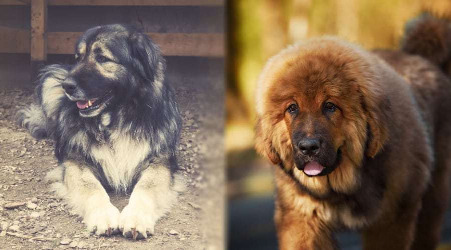 Russian Bear Dog and Tibetan Mastiff Grooming Needs