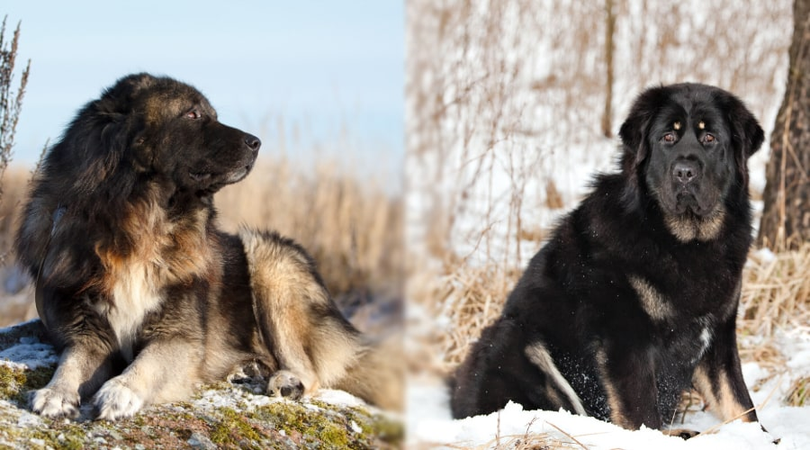 Russian Bear Dog vs. Caucasian Shepherd Dog Traning Needs